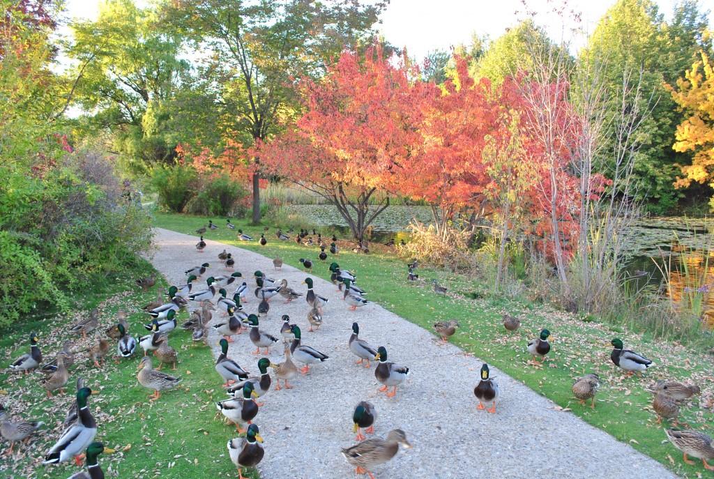 Ducks hog Kathryn Albertson park